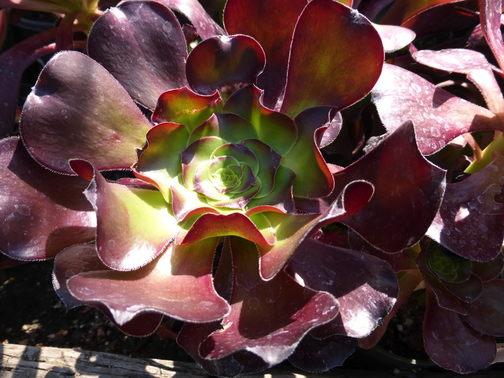 "Aeonium x `Cyclops`  Aeonium 'Cyclops' is a giant version of A. arboreum. Huge red rosettes offer good color in a xeric landscape.Height:  2`   Width:  2`Water Use: lowPruning:  Cut to 6"" in winter.Placement:  Full sun.Bloom season: Spring to fall."