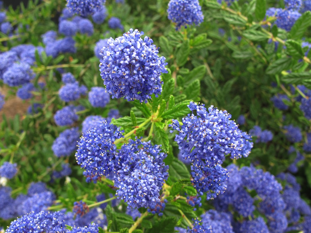 Ceanothus x `Concha`  Ceanothus 'Concha' forms a green shrub between three and six feet high. It requires no summer water and has a heavy bloom of lilac flowers in spring. Leaves are narrower than C. 'Yankee Point'; takes full sun to part shade. Height:  3-5'   Width:  3'Water Use: very lowPruning:  NonePlacement:  Full sun.Bloom season: Summer to mid-winter.