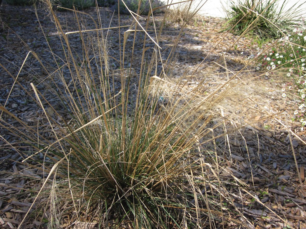 Nassella pulchra   Purple needlegrass adds color to the dry meadow garden with its purple flowers and seeds. It is also California's state grass.Height:  3`   Width:  2`Water Use: very lowPruning:  Cut back when leggy to rejuvenate.Placement:  Full sun.Bloom season: Spring.
