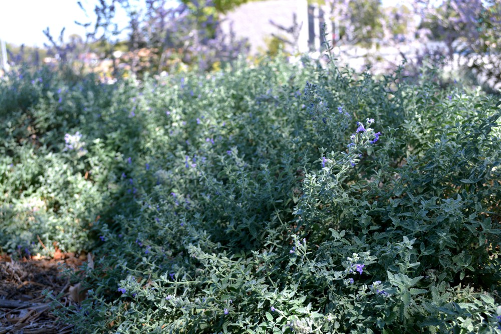 "Nepeta x faassenii  Catmint makes the perfect border. It forms a mound about 8"" high by 18"" wide with  masses of purple flowers from spring to fall. Water regularly; cut back in winter.Height:  1-2`   Width:  3-4`Water Use: medPruning:  Prune dead flower stalks.Placement:  Part to full shade.Bloom season: Spring."