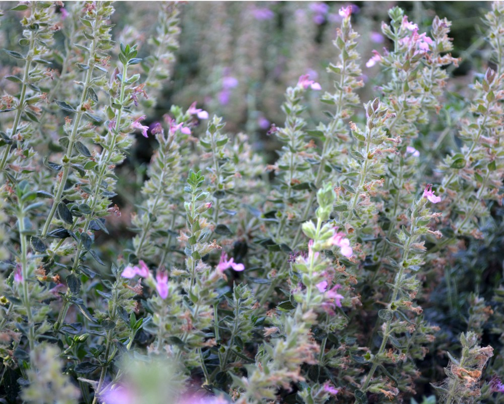Teucrium x lucidrys  Hedge germander, as the name implies, makes a great border for walkways or garden beds. It never gets above a foot in height and has neat evergreen foliage that needs only a yearly trim. Bears pink to purple flowers all summer. Height:  4-6`   Width:  3-7`Water Use: lowPruning:  Lightly shear to keep full.Placement:  Part to full shade.Bloom season: Winter.